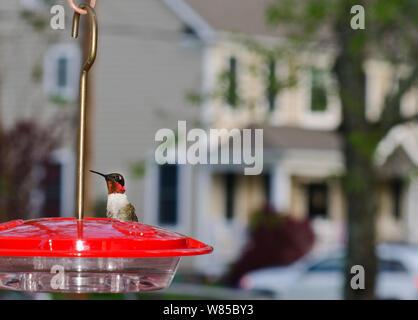 Ruby-Throated Hummingbird (Archilochus colubris)  at hummingbird feeder in garden, New Jersey, USA, May. - Stock Photo