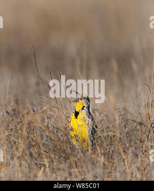 Western Meadowlark (Sturnella neglecta) singing soon after dawn on the prairie, Sandhills, Nebraska, USA, April. - Stock Photo
