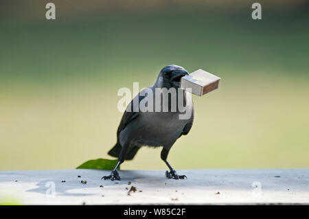 House Crow (Corvus splendens) stealing match box from table Bharatpur, India. - Stock Photo