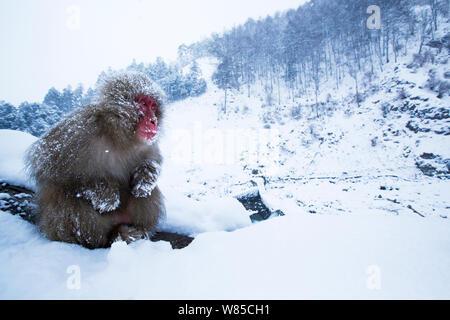 Japanese Macaque (Macaca fuscata) adult sitting portrait. Jigokudani Yean-Koen National Park, Japan, February. - Stock Photo
