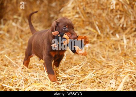 Dobermann Pinscher, puppy aged 5 weeks with Alsatian toy. - Stock Photo