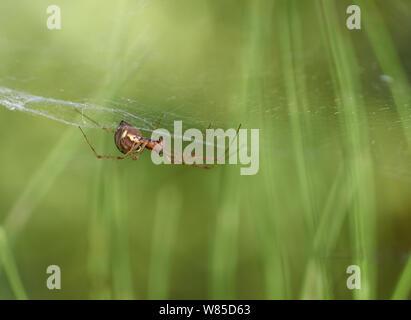 Money spider (Neriene clathrata) Sussex, England, UK, September. - Stock Photo