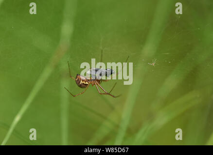 Money spider (Neriene clathrata) with fly prey, Sussex, England, UK, September. - Stock Photo