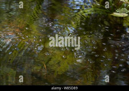 Whirligig beetles (Gyrinidae) on water surface, Florida, USA, February. - Stock Photo