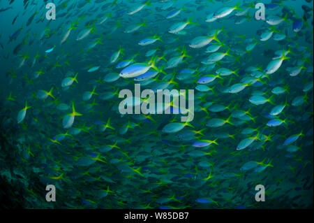 Yellow and blueback fusilier (Caesio teres) shoal, Raja Ampat, West Papua, Indonesia, Pacific Ocean. - Stock Photo