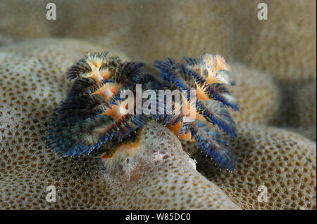 Christmas tree worms (Spirobranchus giganteus) on Porites coral (Porites sp) Raja Ampat, West Papua, Indonesia, Pacific Ocean. - Stock Photo