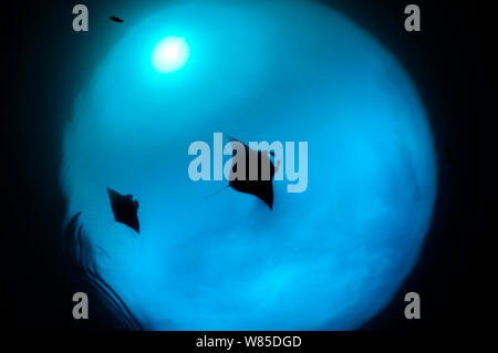 Two Giant manta rays (Manta birostris) feeding on plankton, North Raja Ampat, West Papua, Indonesia, Pacific Ocean, Vulnerable species. - Stock Photo