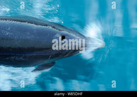 Bottlenose dolphin (Tursiops truncatus) surfacing seen from above, Marlborough Sounds, New Zealand, July. - Stock Photo