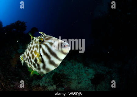 Leatherjacket (Parika / Meuschenia scaber) portrait, Poor Knights Islands, Marine Reserve, New Zealand, South Pacific Ocean, July. - Stock Photo
