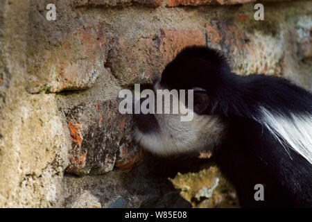 Eastern Black-and-white Colobus (Colobus guereza) licking a wall for the salts and minerals. Kakamega Forest South, Western Province, Kenya - Stock Photo