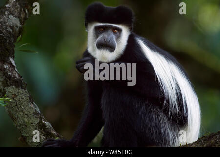Eastern Black-and-white Colobus (Colobus guereza) sitting in a tree. Kakamega Forest South, Western Province, Kenya - Stock Photo
