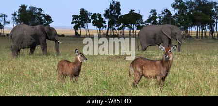 Defassa waterbuck (Kobus ellipsiprymnus defassa) female and calf with African elephants (Loxodonta africanus) in the background. Maasai Mara National Reserve, Kenya. Feb 2012. - Stock Photo