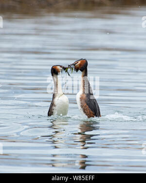 Great-crested Grebe (Podiceps cristatus) performing weed dance as part of courtship display Lake Geneva, Switzerland, March. - Stock Photo