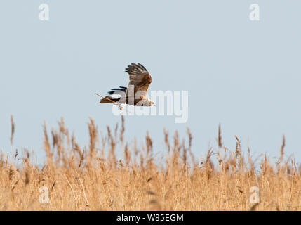 Marsh Harrier (Circus aeruginosus) in flight, female carrying nest material Cley Marshes Reserve, Norfolk, England, UK, March. - Stock Photo