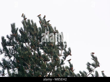 Common Crossbills (Loxia curvirostra) perched in conifer tree, Holt, Norfolk, England, UK. March. - Stock Photo