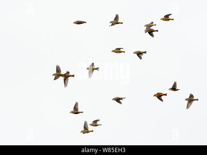 Common Crossbills (Loxia curvirostra) in flight, Holt, Norfolk, England, UK. March. - Stock Photo