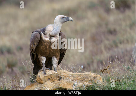 Eurasian griffon vulture (Gyps fulvus) adult on ground near feeding station in the Catalonian Pyrenees, Spain, November. - Stock Photo