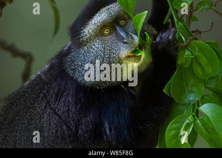Stulmann's blue monkey (Cercopithecus mitis stuhlmanni) feeding on leaves. Kakamega Forest South, Western Province, Kenya. - Stock Photo