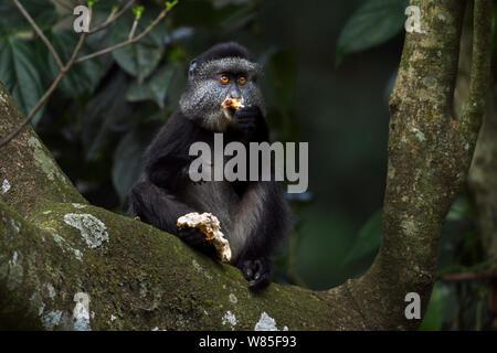 Stulmann's blue monkey (Cercopithecus mitis stuhlmanni) juvenile eating a mushroom. Kakamega Forest South, Western Province, Kenya. - Stock Photo