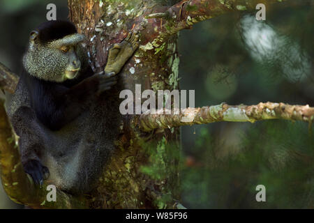 Stulmann's blue monkey (Cercopithecus mitis stuhlmanni) self-grooming. Kakamega Forest South, Western Province, Kenya. - Stock Photo