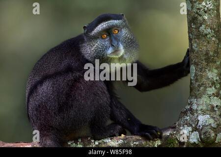 Stulmann's blue monkey (Cercopithecus mitis stuhlmanni) juvenile sitting portrait. Kakamega Forest South, Western Province, Kenya. - Stock Photo
