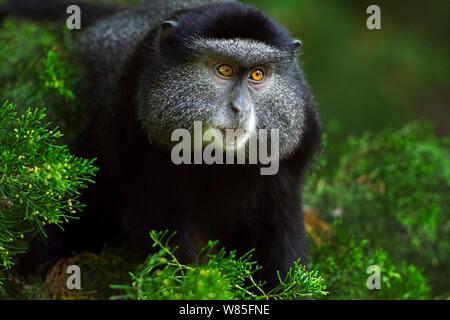 Stulmann's blue monkey (Cercopithecus mitis stuhlmanni) juvenile portrait. Kakamega Forest South, Western Province, Kenya. - Stock Photo