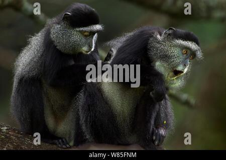 Stulmann's blue monkey (Cercopithecus mitis stuhlmanni) females grooming. Kakamega Forest South, Western Province, Kenya. - Stock Photo