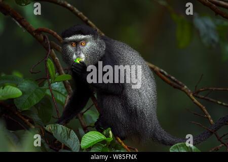 Stulmann's blue monkey (Cercopithecus mitis stuhlmanni) feeding on fruit. Kakamega Forest South, Western Province, Kenya. - Stock Photo