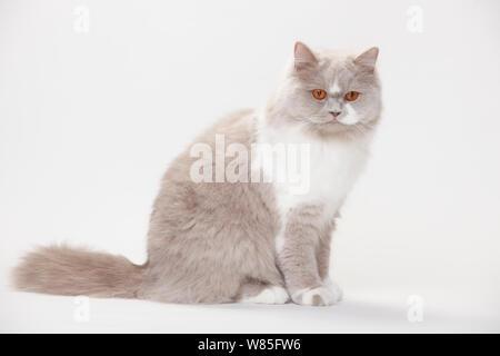 British Longhair Cat, lilac-white (Highlander, Lowlander, Britanica) - Stock Photo