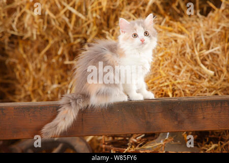 British Longhair, kitten, blue-tortie-white colouration, age 10 weeks, resting by straw bales. - Stock Photo