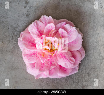 Macro of a pink rose blossom on a gray concrete stone, single isolated bloom in vintage painting style with detailed texture - Stock Photo
