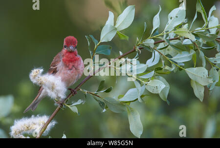 Common Rosefinch (Carpodacus erythrinus)  adult male, Joensuu, Finland, May - Stock Photo