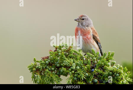 Linnet (Carduelis cannabina) adult male, Uto, Finland, August - Stock Photo