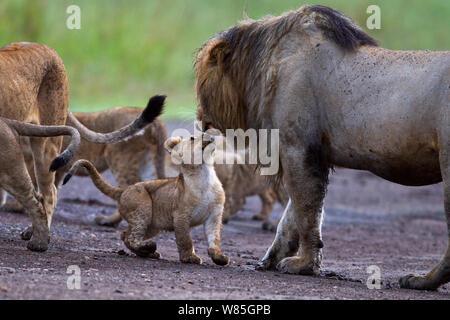 Lion (Panthera leo) male snarling at cub aged 3 months. Maasai Mara National Reserve, Kenya. - Stock Photo