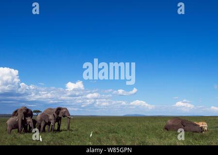 African elephant (Loxodonta africana) herd watching over lions feeding on an elephant carcass. Maasai Mara National Reserve, Kenya. - Stock Photo