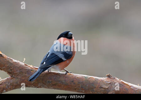 Eurasian bullfinch (Pyrrhula pyrrhula) male on branch, Finland, April. - Stock Photo