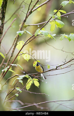 Grey wagtail (Motacilla cinerea) male, Wood of Cree RSPB Reserve, Dumfries and Galloway, Scotland, May. - Stock Photo