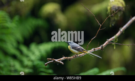 Grey wagtail (Motacilla cinerea) male perched, Wood of Cree RSPB Reserve, Dumfries and Galloway, Scotland, May. - Stock Photo