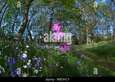 Red campion (Silene dioica) flowering in woodland amongst Bluebells and Greater stitchwort. Thursford Wood, North Norfolk, UK, May. - Stock Photo