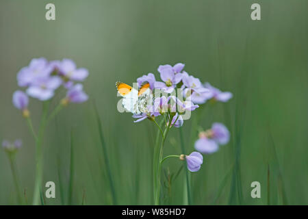Orange-tip butterfly (Anthocharis cardamines) on Cuckoo flower (Cardamine pratensis) North Norfolk, UK, May. - Stock Photo