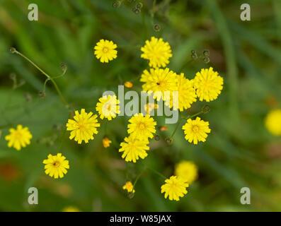 Nipplewort (Lapsana communis) in flower, Sussex, England, UK. June.