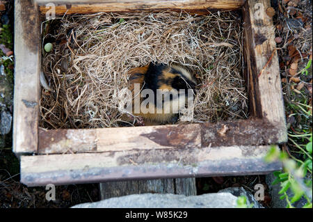 Norway lemming (Lemmus lemmus) in nest box, Vauldalen, Norway, June. - Stock Photo