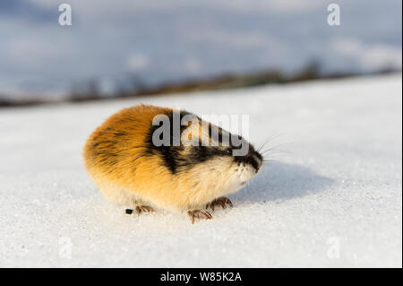Norway lemming (Lemmus lemmus) on snow, during the lemming population explosion, Vauldalen, Norway, May, 2011. - Stock Photo