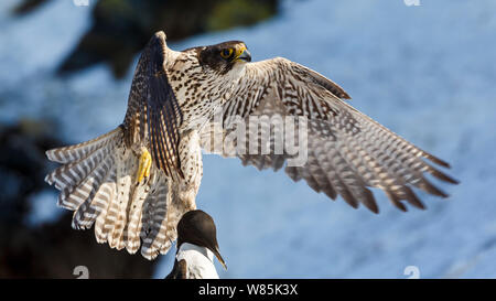 Gyrfalcon (Falco rusticolus) in flight with guillemot prey. Hornøya birdcliff. Finnmark, Norway. March - Stock Photo