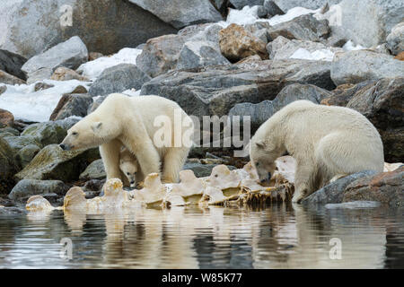 Polar bear (Ursus maritimus) two adults, one mother with cub in between legs. By the spine of stranded fin whale carcass. Spitsbergen, Svalbard, Norway. July - Stock Photo