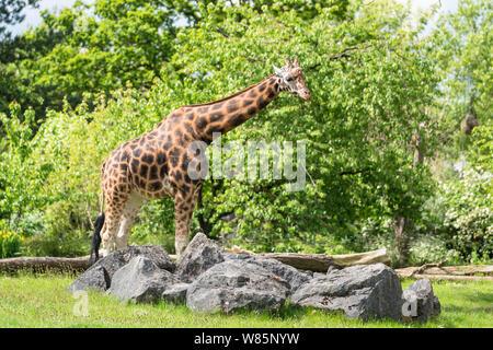 Male Maasai giraffe (Giraffa camelopardalis tippelskirchii) Chester England UK. May 2019 - Stock Photo