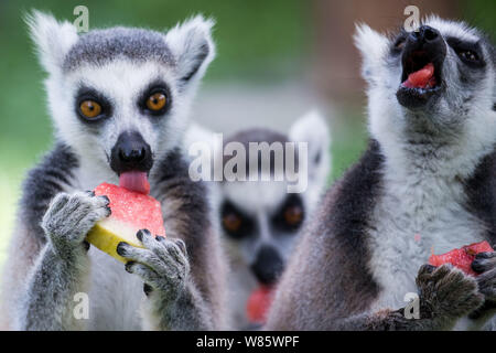 Ring-tailed lemurs eat watermelon to cool off on a scorching day at Hangzhou Safari Park in Hangzhou city, east China's Zhejiang province, 31 July 201 - Stock Photo