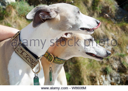 Whippets - Stock Photo