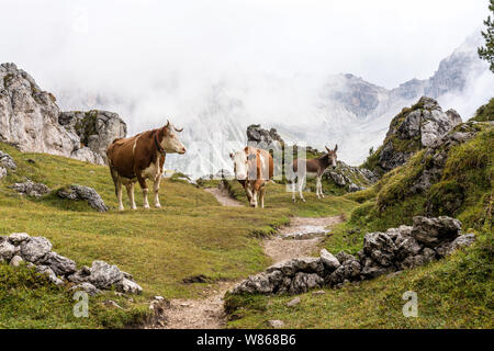 Cows in the Italian Dolomites seen on the hiking trail on the Col Raiser plateau above the village of St. Cristina in the Gardena valley, South Tyrol - Stock Photo