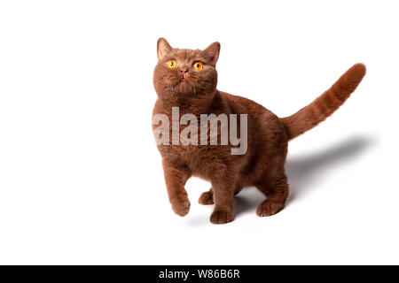 Portrait of a cat, bright yellow eyes, a playful look, a good card for advertising goods for animals. - Stock Photo